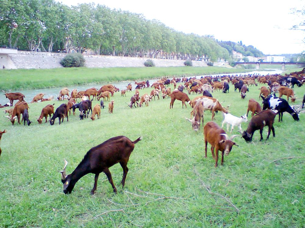 家の前の河原。手入れをするヤギの群れです。